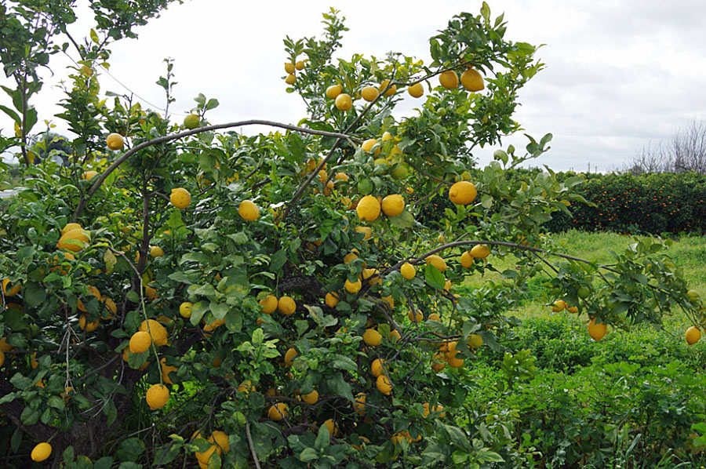 Algarve_Zitronenbaum im Januar