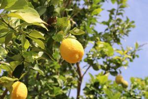 Zitronen an der Algarve