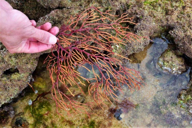 Algarve News über Korallenfunde im März 2018 an der Algarve