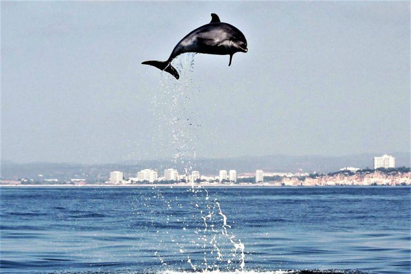 Orcas, andere Wale und Delfine sind im August an der Algarve nicht selten