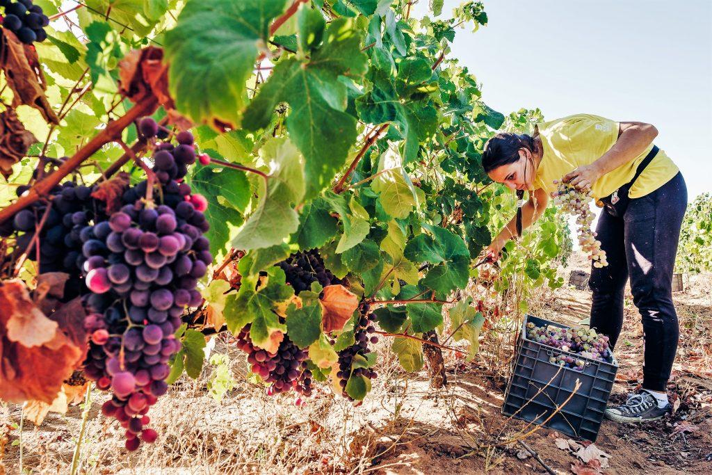 Algarve-Weine werden oft aus der eigenen Rebsorte Negra Mole hergestellt