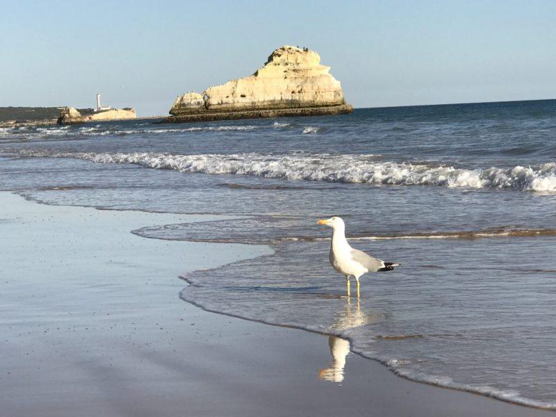Algarve News über Flugleistungen von Möwen der Südküste Portugals