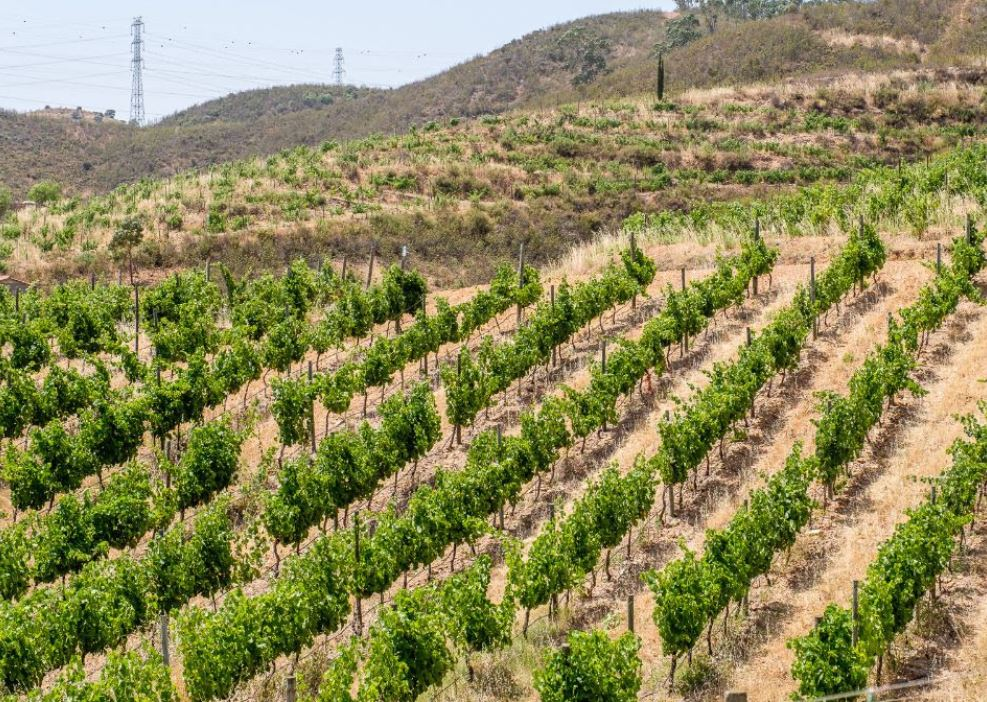 Algarve News zu Weinproduktion an der Algarve