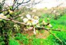 Algarve: Premiere für Mandelblüten-Festival in Alta Mora